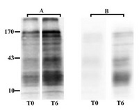 Figure 1. Western blotting of sperm tyrosine phosphorylated