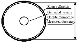 Figure 2. Scheme illustrating oocyte diameter measurement