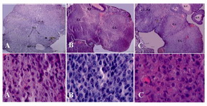 Figure 1. The photograph of ovarian sections (upper row) and granulosa cells in corpus luteum (lower row) of ovary in treated groups. A: Control; B: LDE; C: HDE. H&E staining, upper row scale bars=60 µm, and lower row scale bars=10 µm. CL: Corpus Luteum; SF: Secondary Follicle; PF: Pri-mary Follicle