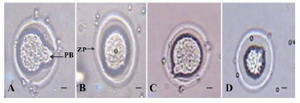 Figure 2. Image of oocytes in treated groups. A: Sham; B: Control; C: LDE; D: HDE. O: Oocyte; ZP: Zona Pellucida; PB: Polar Body. Scale bars= 10 µm