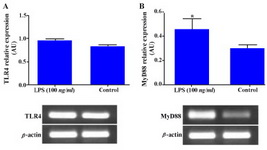 Figure 4. Effect of LPS on TLR4 and MyD88 gene expression in WECs. WECs were stimulated with LPS (100 ng/ml) for 8 hr and expression of TLR4; A: and MyD88; B: genes was then assayed by RT-PCR. Representative TLR4 and MyD88 PCR bands are shown at the bottom of each graph.
